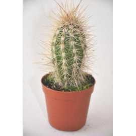 pachycereus pringlei diam 5.5 cm