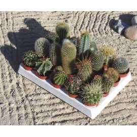lot de 20 cactus différents diam 5.5 cm