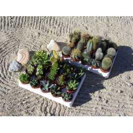 lot de 40 cactus et plantes grasses diam 5.5 cm