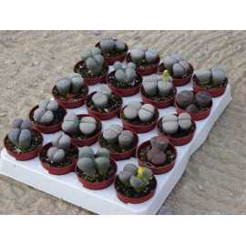 lot de 20 lithops differents
