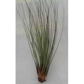 tillandsia juncifolia M