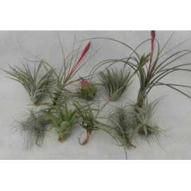 lot de 10 tillandsias taille M