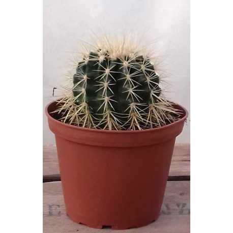 echinocactus grusonii diam 13 cm