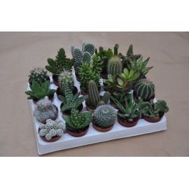 Lot de 20 cactus et plantes grasses differents diam 5.5 cm