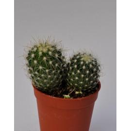 echinofossilocactus albatus diam 5.5cm