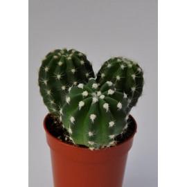 echinopsis subdenudata diam 5.5 cm 3 têtes