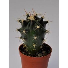 ferocactus horridus diam 5.5 cm