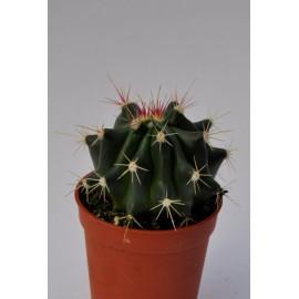 ferocactus stainesii diam 5.5 cm