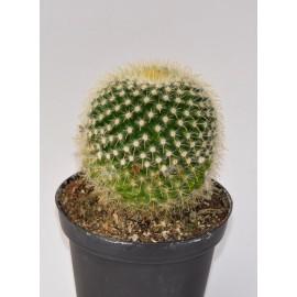 notocactus microsperma diam 10 cm