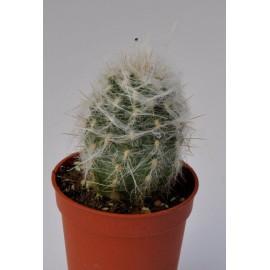 oreocereus trollii diam 5.5 cm