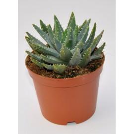 aloe brevifolia diam 13 cm