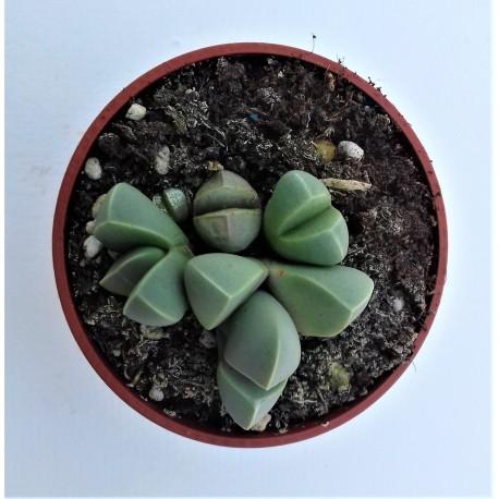 lithops lapidaria margarifera diam 5.5 cm
