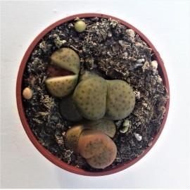 lithops karasmontana aiaensis diam 5.5 cm