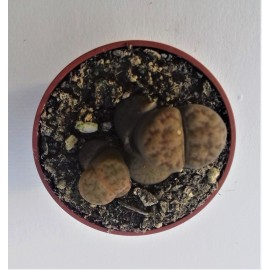 lithops bromfieldii diam 5.5 cm