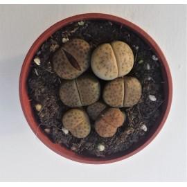 lithops aucampiae C172 diam 5.5 cm