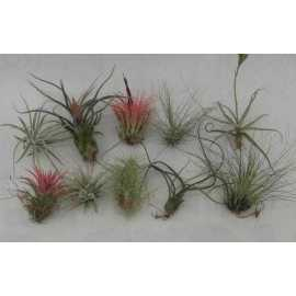 lot de 10 tillandsias taille S