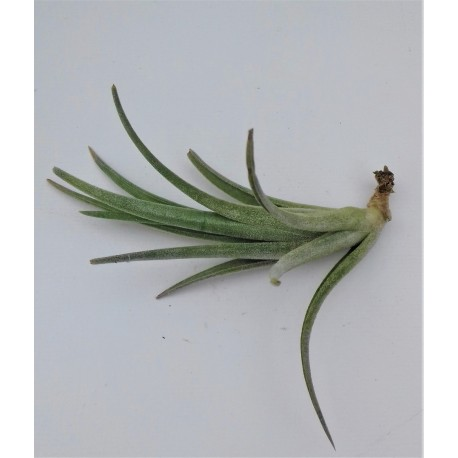 tillandsia pueblensis