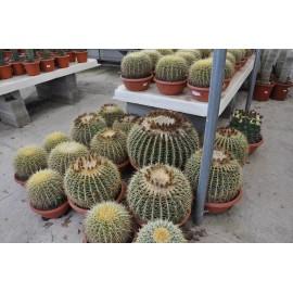 echinocactus grusonii de 35 à 60 cm