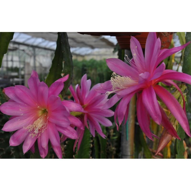 epiphyllum bruin fleurs fushia diam 10 cm - LE TEMPLE DU ...