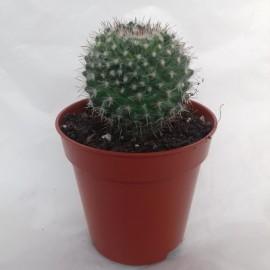 mammilaria hahniana diam 5.5 cm
