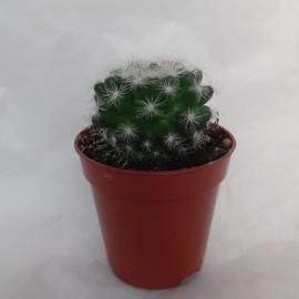 mammilaria candida diam 5.5 cm