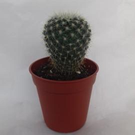 mammilaria lebsiana diam 5.5 cm