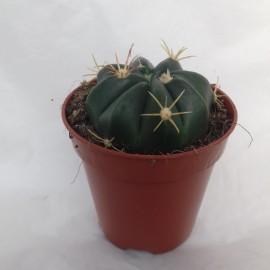 ferocactus latispinus diam 5.5 cm