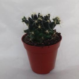 thelocactus macdowellii diam 5.5 cm