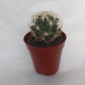 coryphantha radians diam 5.5 cm