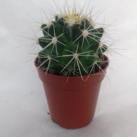 echinocactus grusonii albispina diam 5.5 cm