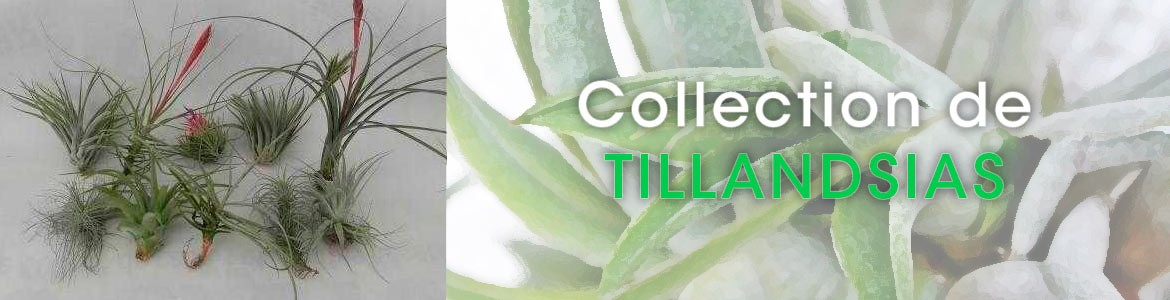 COLLECTION TILLANDSIAS